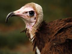 Ugly vulture Stock Photos