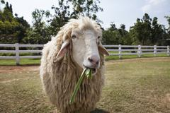 Stock Photo of sheep in ranch farm eating green grass leaves