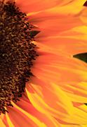 close up of the florets and petals of a sunflower - stock photo