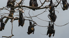 Fruit bats hanging in a tree Stock Footage