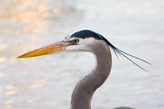Grey heron (ardea cinerea ) Stock Photos