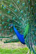 Peacock with fanned tail Stock Photos