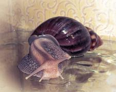 Snail Achatina - stock photo