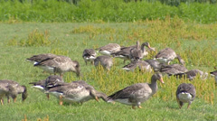 Geese grazing in flock - Anser Anser or Greylag Goose, Graylag Goose Stock Footage