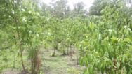 Stock Video Footage of Natural Cinnamon Trees