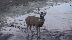 Mule Deer Buck Drinking - stock footage