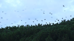 Thousands of birds in a tree 3 Stock Footage
