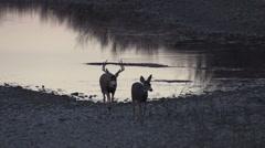 Mule Deer Buck Chasing a Doe Stock Footage