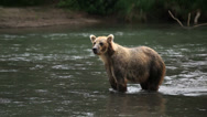 Stock Video Footage of bears fishing