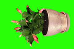 4K. Epiphytic cactus. Red schlumbergera flower buds green screen Stock Footage