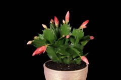 4K. Epiphytic cactus. Red schlumbergera flower buds ALPHA matte Stock Footage