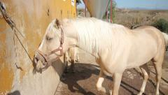 White horse on a stable tied up Stock Footage