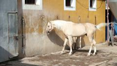 White horse on a stable tied up. General shot Stock Footage