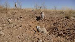 suricate 4 - stock footage