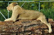 Stock Photo of african lioness