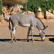 African somali wild ass Stock Photos