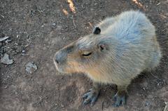 capybara rodent - stock photo
