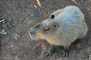 Stock Photo of capybara rodent