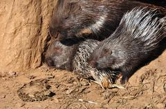 Indian crested porcupines Stock Photos