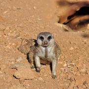 meerkat suricate animal closeup - stock photo
