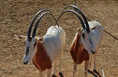 Two scimitar horned oryx antelopes Stock Photos