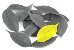 uniqueness - yellow leaf among black and whites - stock photo