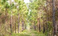 Stock Photo of ecological hike trail in pine forest.
