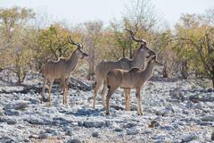 Kudu antelope group - stock photo