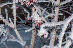 guelder rose and soft fluffy snow - stock photo
