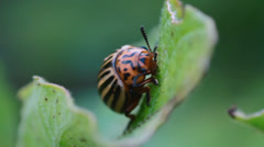 Potato beetle Stock Footage