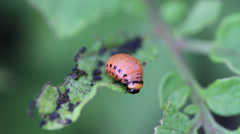 Larva Colorado potato beetle Stock Footage