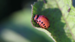 Colorado potato beetle. Larva - stock footage