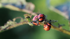Colorado potato beetle. Larvas Stock Footage