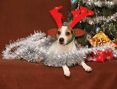cute lying jack russell terrier with reindeer antlers in a christmas - stock photo