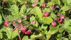 Wild strawberry Fragaria vesca Stock Footage