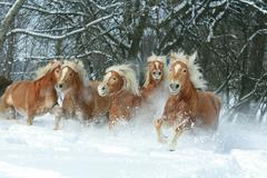 batch of haflingers together in winter - stock photo