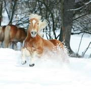 nice haflinger with long mane running in the snow - stock photo