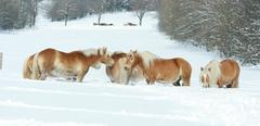 Batch of haflingers together in winter Stock Photos