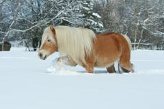 amazing haflinger running in the snow - stock photo