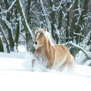 haflinger with long mane running in the snow - stock photo