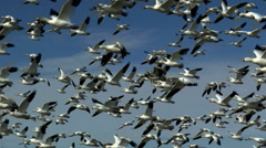 Hundreds Of Birds Take Flight Stock Footage