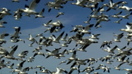 Stock Video Footage of Hundreds Of Birds Take Flight