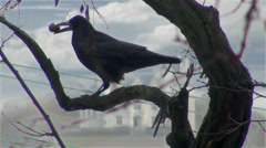 Black crow sitting on tree and there is nut Stock Footage