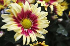 Stock Photo of yellow chrysanthemum flower
