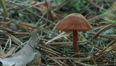 Brown mushroom in the forest autumn Stock Footage
