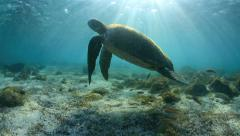 Green sea turtle underwater coming up for air paradise lagoon Stock Footage