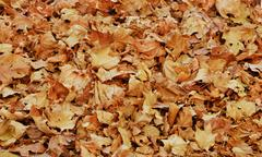 pile of dry autumn vine leaves - stock photo