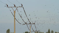 Starlings on a Power line Stock Footage