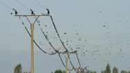Stock Video Footage of Starlings on a Power line