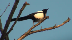 Magpie sitting on a branch and looking around Stock Footage